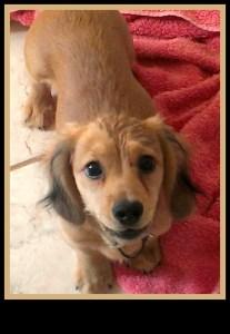 Norman, Dachshund puppy (CDR Rescue)
