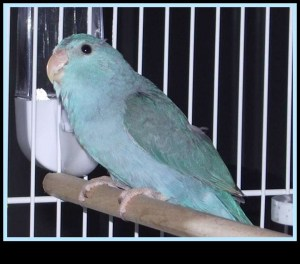 Our Parrotlet, Wheatie Pea